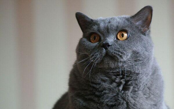 ブリティッシュ系のネコ - Sputnik 日本