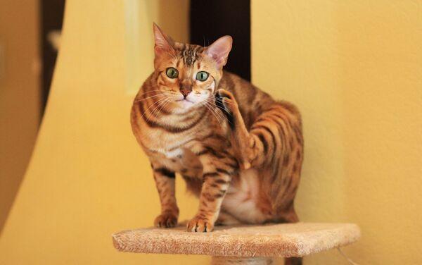 ベンガル猫 - Sputnik 日本