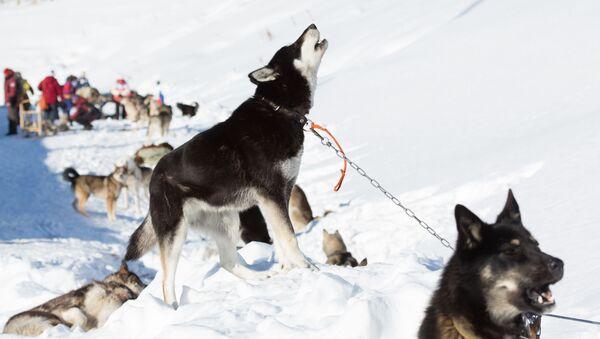 カムチャツカで世界最長の犬ぞりレースがスタート! - Sputnik 日本