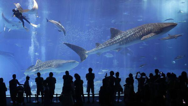 沖縄・沖縄美ら海水族館 国内最長飼育のジンベエザメが死ぬ - Sputnik 日本