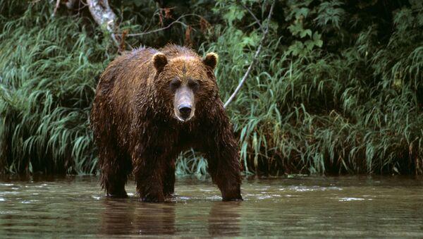 カムチャツカで熊(アーカイブ写真) - Sputnik 日本