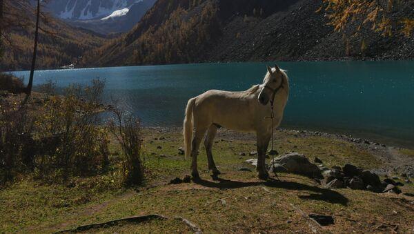 ロシアのアルタイに、世界で唯一の「観光種」の馬誕生へ - Sputnik 日本
