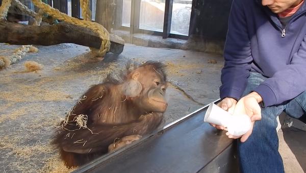 予想外の反応:小さなチンパンジーが手品を見て笑う - Sputnik 日本