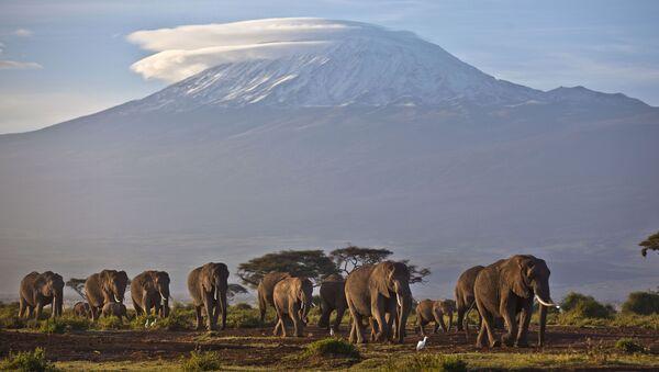 Стадо слонов на фоне горы Килиманджаро, Кения - Sputnik 日本