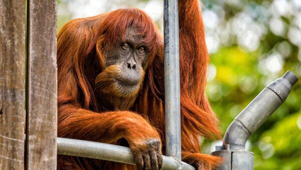 60-летний орангутан Пуан в зоопарке Perth Zoo, Австралия - Sputnik 日本