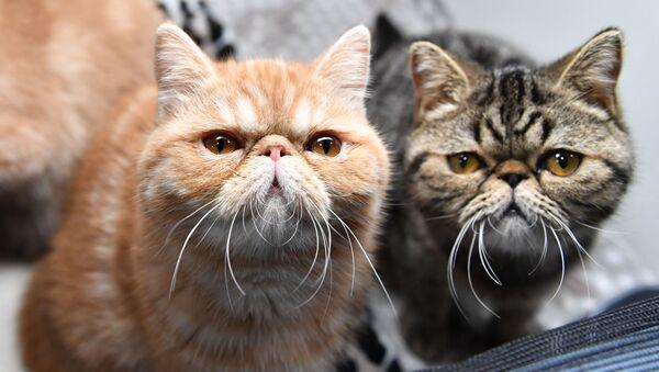 Кошки породы экзотическая короткошерстная на выставке котят Любимчик в Москве - Sputnik 日本