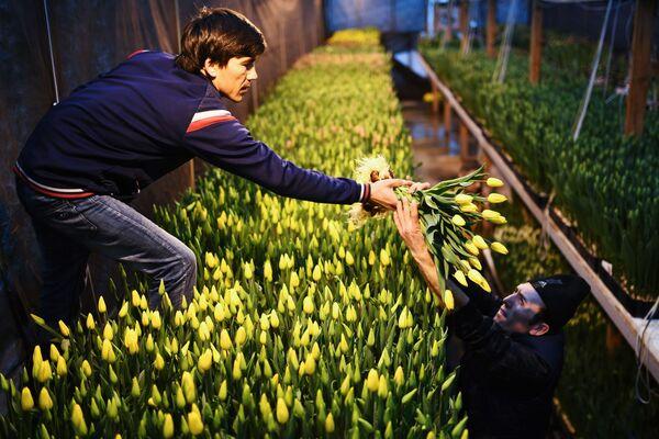 シアのノボシビルスクで、チューリップを収穫する従業員たち - Sputnik 日本