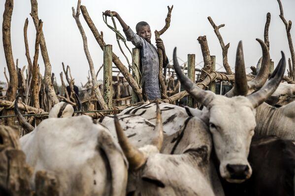 ナイジェリアの市場で、家畜の群れを追う少年 - Sputnik 日本