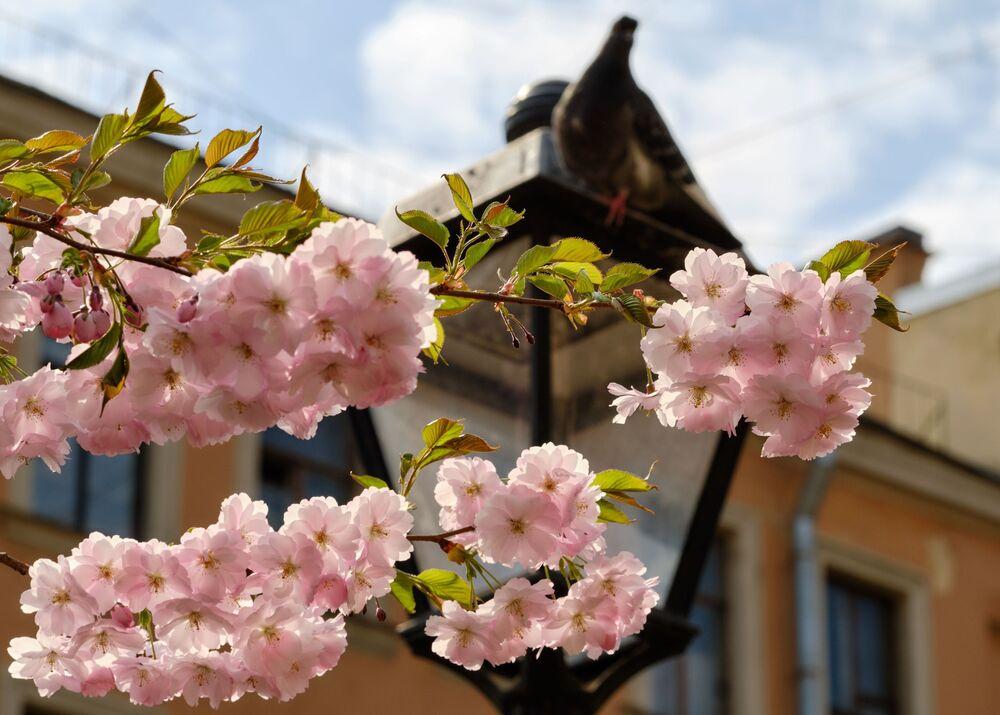 サンクトペテルブルクで開花した桜