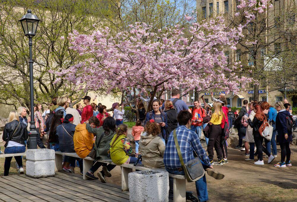 開花した桜とペテルブルクの住民