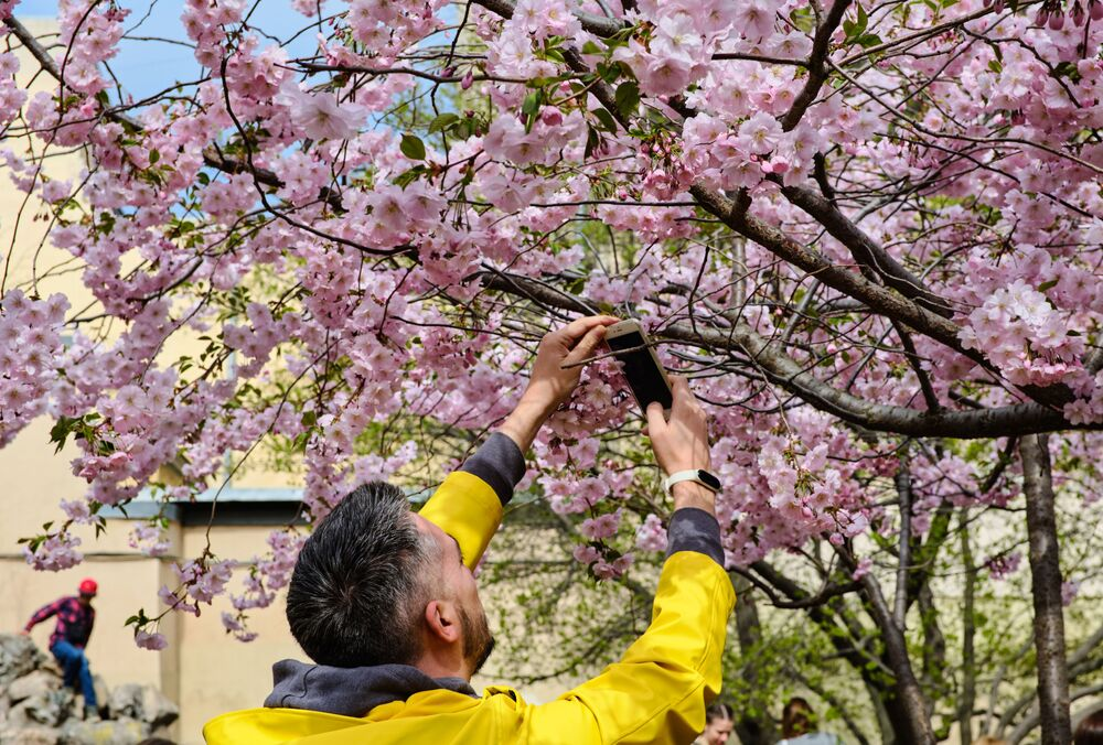 開花した桜を撮影する男性