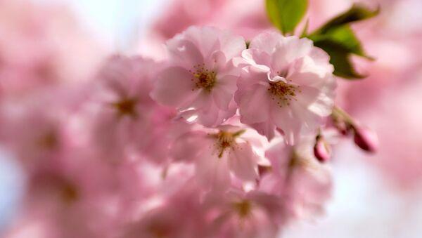 桜「資料写真」 - Sputnik 日本