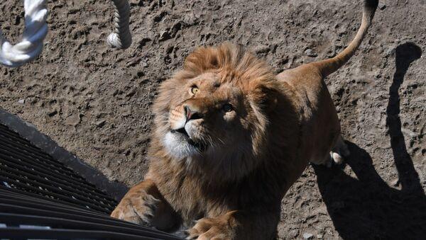 ライオンの綱引き競争 沿海地方のサファリパークで - Sputnik 日本