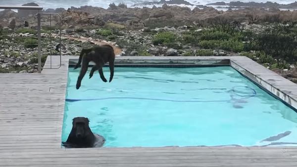 ヒヒ2頭がプライベートプールで水浴び - Sputnik 日本
