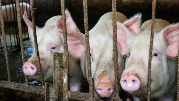 韓国ではじめて症例を記録 アフリカ豚コレラ - Sputnik 日本