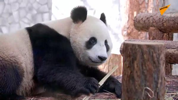 たくさんの竹が必要だ!中国がロシアにジャイアントパンダ2頭を貸与 - Sputnik 日本