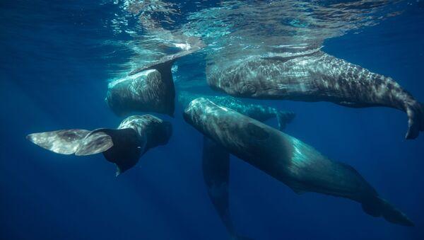 マッコウクジラ - Sputnik 日本