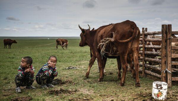 モンゴル 放牧牛と子どもたち - Sputnik 日本