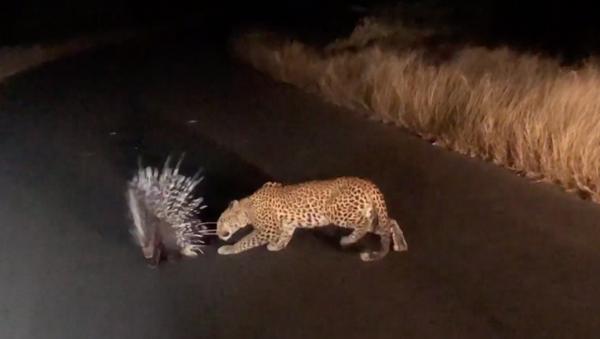 南アフリカでヒョウがヤマアラシを襲おうとするが、針を前になす術なし - Sputnik 日本