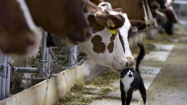 牛と猫 - Sputnik 日本
