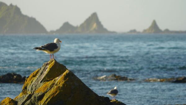 ウループ島のカモメ(アーカイブ写真) - Sputnik 日本