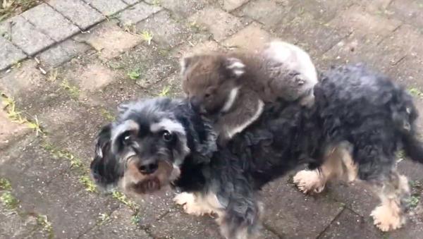 コアラの赤ちゃん 犬をお母さんとみなす オーストラリア - Sputnik 日本