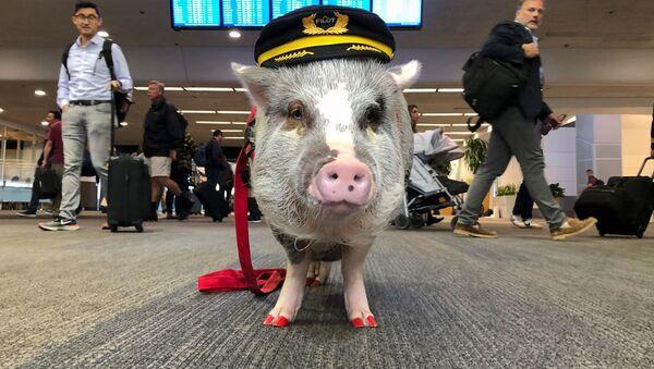 米空港が豚を採用? 世界初の空港セラピー豚が活躍中 - Sputnik 日本