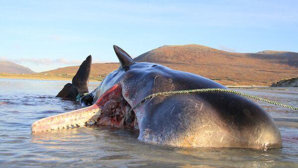 スコットランドでマッコウクジラ - Sputnik 日本