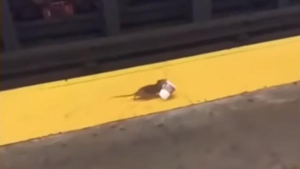 地下鉄で目覚めの一杯を… ネズミも朝は大変! - Sputnik 日本