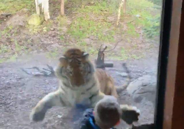 今日のご飯は決まった? トラが少年を...
