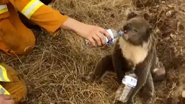 ペットボトルから直接水を飲むコアラ  - Sputnik 日本
