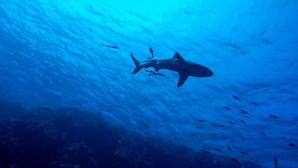 サメ(アーカイブ写真) - Sputnik 日本