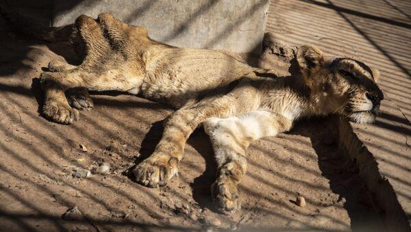 スーダンの動物園 飢えでライオンが危機的状況に - Sputnik 日本