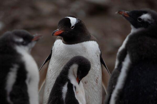 ジェンツーペンギンのコロニー 南極・スノー島にて - Sputnik 日本