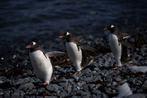 ジェンツーペンギンの群れ アンヴァース島にて - Sputnik 日本