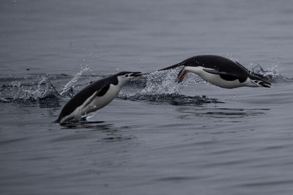 泳ぐヒゲペンギン トゥー・ハンモック島にて  - Sputnik 日本