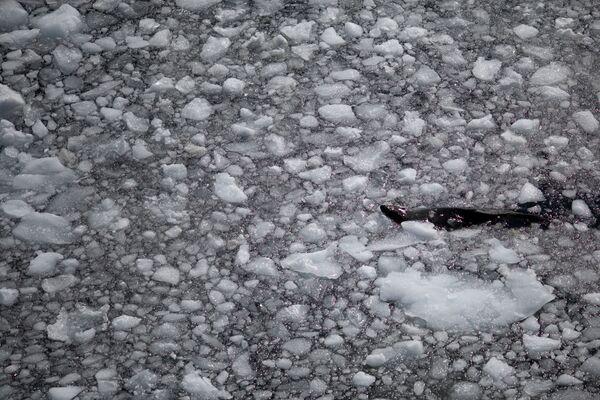 流氷の間を泳ぐアザラシ アンヴァース島にて - Sputnik 日本