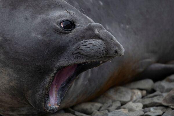 あくびをするアザラシ スノー島にて - Sputnik 日本