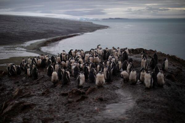 ヒゲペンギンのコロニー スノー島にて - Sputnik 日本