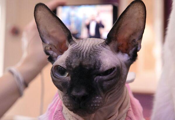 オンライン会議に参加した「ネコ共和国」の猫 - Sputnik 日本