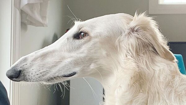 異様に長い鼻の犬 ネットで大人気 - Sputnik 日本