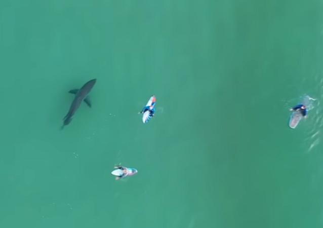 巨大ホオジロザメとエンカウントの瞬間 ドローンが捉える